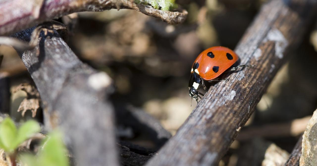 Côte-Rôtie ladybug, Rhône Valley Vineyard ©Inter Rhône