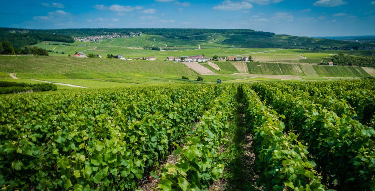 The Champagne Vineyard ©Carol Cain