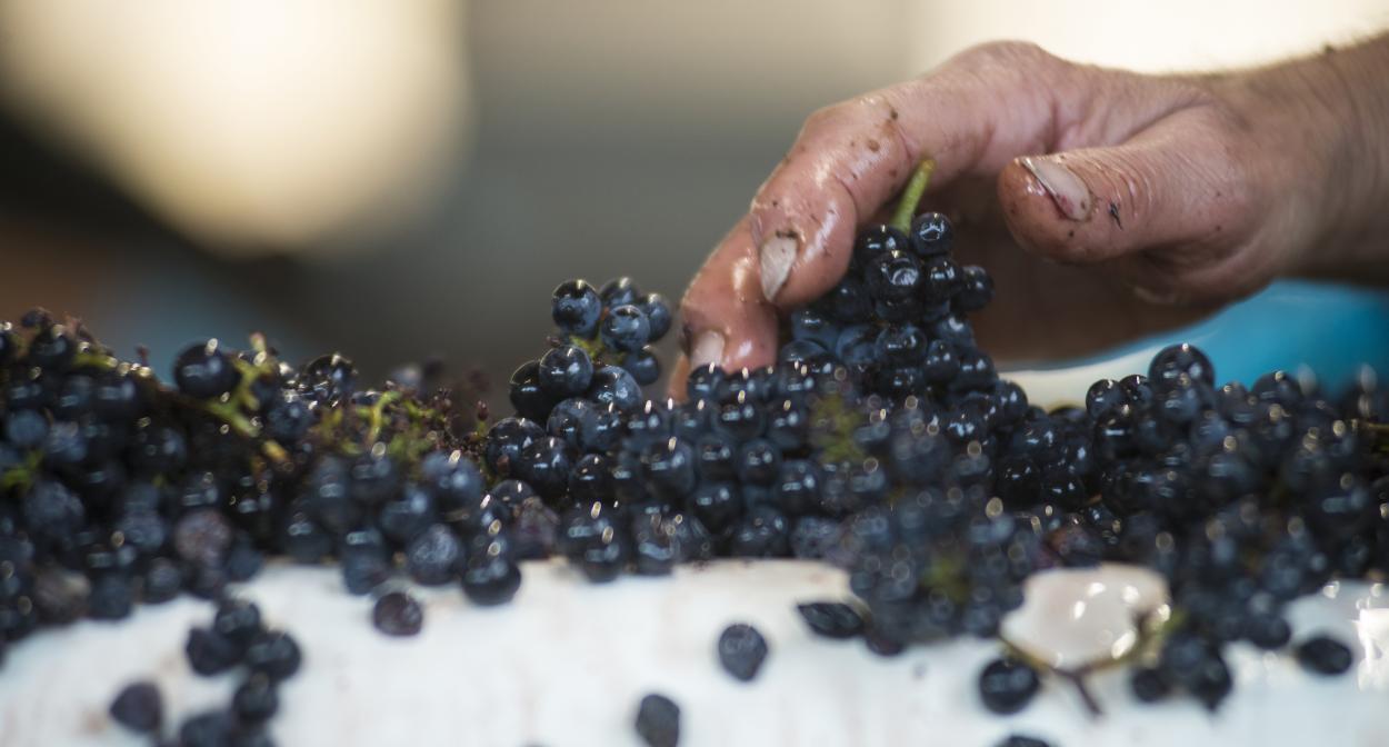 Table de tri, domaine Henri Bourgeois, Vignoble du Val de Loire ©Henri Bourgeois