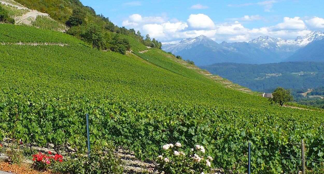 Vineyard of Savoie