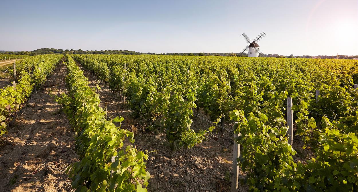 Vineyard in Loire Valley ©A. Lamoureux - Vendée Expansion