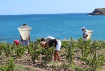 Vendanges vins du roussillon méditerranée Maison Cazes Advini ©Clos de paulilles