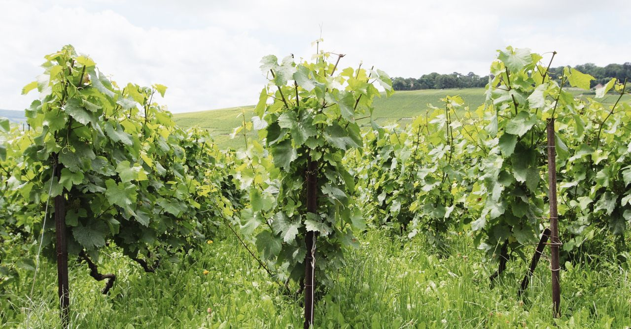 Champagne Vineyard ©Lindsey Tramuta